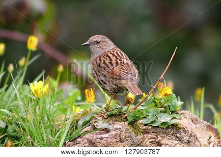 A Hedge Sparrow standing in grass and yellow flowers
