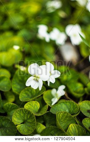Wild White Viola Flowers