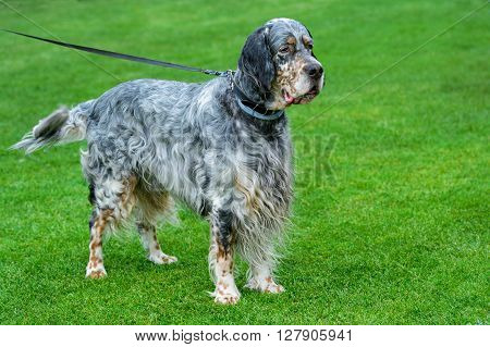 English setter standing on green field .