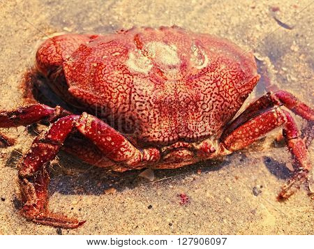 Red crab on the sand beach by the sea, sea animal on the beach, crab closeup, crab in wild nature, seaside life, natural pattern on animal, sea hunter, sea finding, bio-mechanical inspiration animal