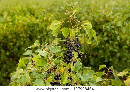 Black and juicy fresh blackcurrant berries growing on the plant.