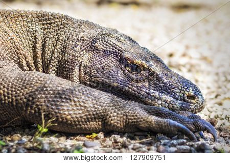 Close up of Komodo dragon resting in its natural habitat of Komodo Island, Indonesia.