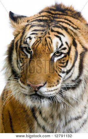 primer plano de la cara de un tigre frente a un fondo blanco. Todos mis cuadros son tomados en un poste de madera de la foto
