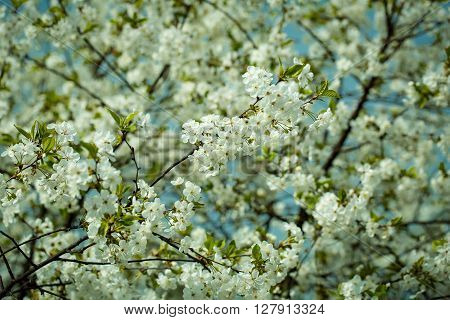 Spring Blossom In Sun