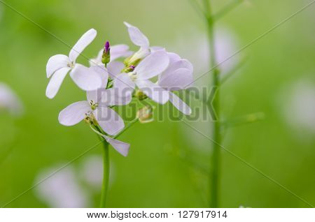 Coralroot (Cardamine bulbifera) flowers. Rare perennial plant in the cabbage family (Cruciferae) with close up of pale pink flowers