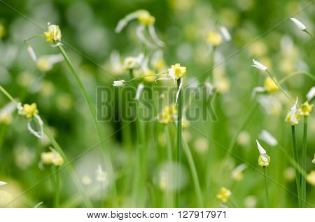 Few-flowered Garlic (Allium paradoxum) flowers. A mass of reproductive bulbils and flowers of this introduced plant to the UK in the amaryllis family (Amaryllidaceae)