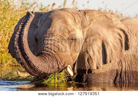 Wild African elephant swiming in a waterhole