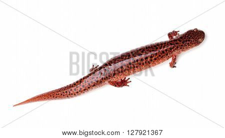 Red Salamander (Pseudotriton ruber) isolated on a white background
