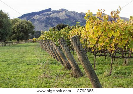 Gisborne, NZ Vineyard in Autumn with Mountains in Background