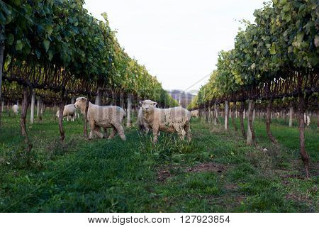 Sheep Grazing in Vineyard in Gisborne, NZ