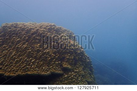 Brown massive coral in the deep blue sea