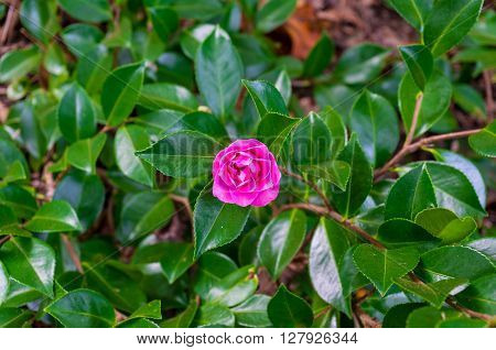 Japanese Camellia flower surrounded with glossy green leaves