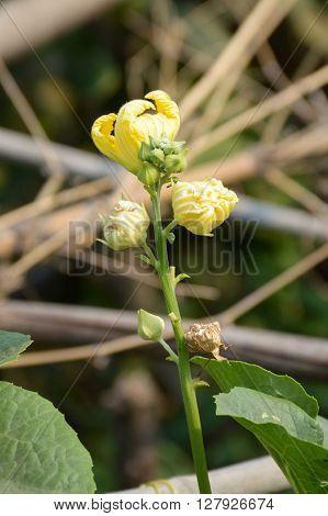 Sponge Gourd flower in garden - Luffa cylindrica