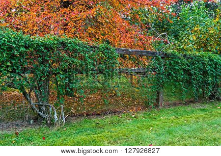Autumn country landscape. Green hedge fence with colorful autumn trees on the background