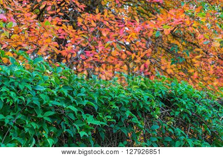 Autumn country landscape. Green hedge fence with colorful autumn trees on the background. Selective focus on green leaves