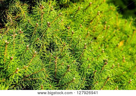 Bright and green pine tree needles close up texture. Green nature background. Selective focus