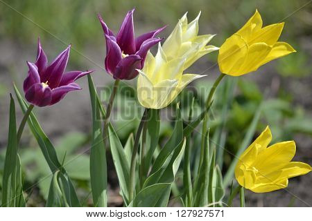 tulips of purple bright yellow and pale yellow tipped a gust of wind on a green background