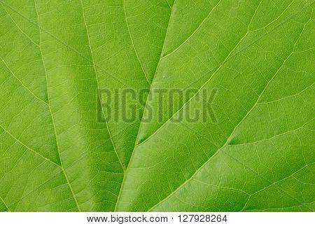 Green leaves background closeup. Macro green leaf texture