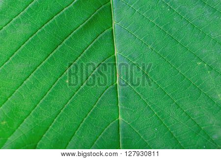Green leaves background closeup. Macro green leaf texture