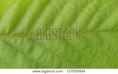 Macro green leaf texture. Green leaves background close-up