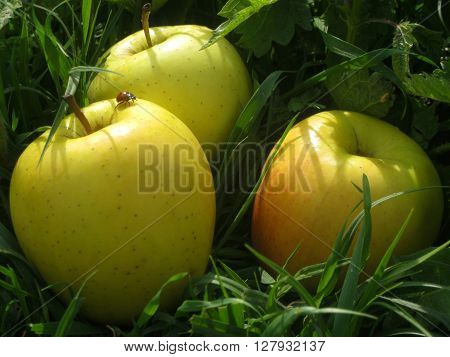 Big wet yellow fresh apples on a spring field of green grass contains a little ladybird