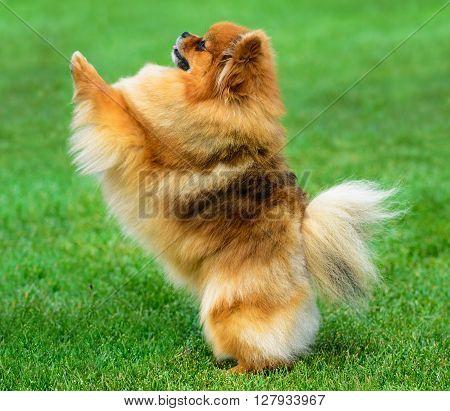 Miniature pomeranian spitz playing on green field.