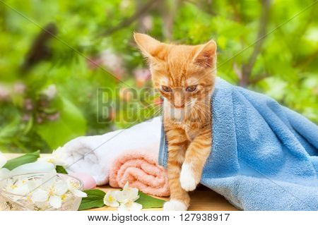 Cute yellow kitty cat in blue towel
