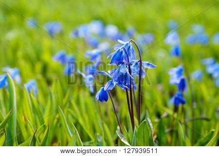 Scilla siberica or Siberian squill flowers spring-time scene