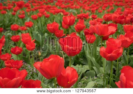 tulips,red flowers, revival,decorative plants, backgrounds for computer,spring,April,garden,nature