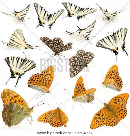 16 live butterflies in different positions in front of a white background
