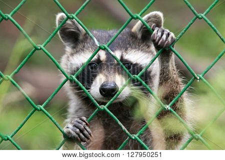 Raccoon with hands on fence in Sofia, Bulgaria ** Note: Shallow depth of field