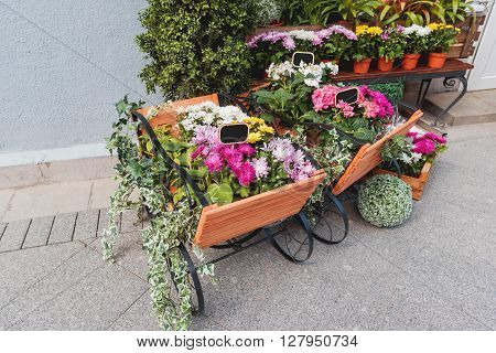 Potted flowers on showcase near the flower shop. Spring sale of hydrangeas cyclamen chrysanthemums. Moscow Russia.