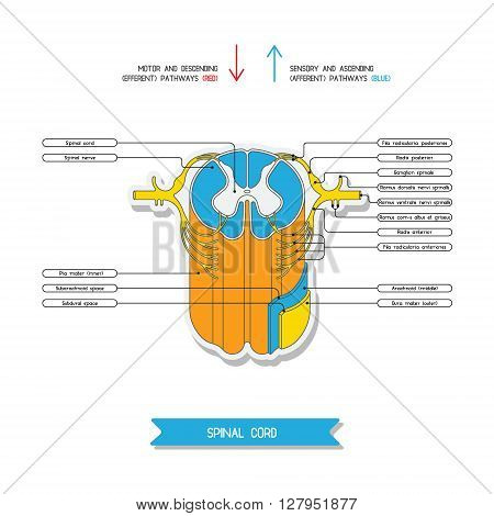 Cross section of spinal cord. Central nervous system. Vector spinal cord. Spinal Reflex Arc. Vector medical illustration. Major nerve columns and tracts of spinal cord.