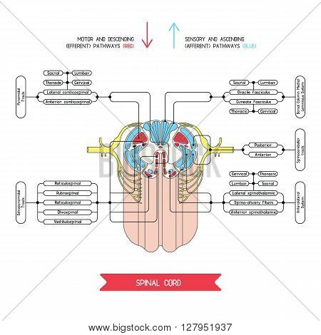 Cross section of spinal cord. Central nervous system. Vector spinal cord. Spinal Reflex Arc. Vector medical illustration.