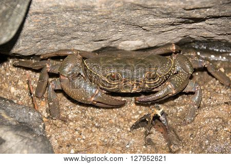 Stream crab or River crab hiding in the rocks