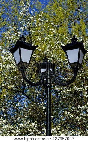 Old street lamppost against blossom white magnolia tree and blue sky background in spring
