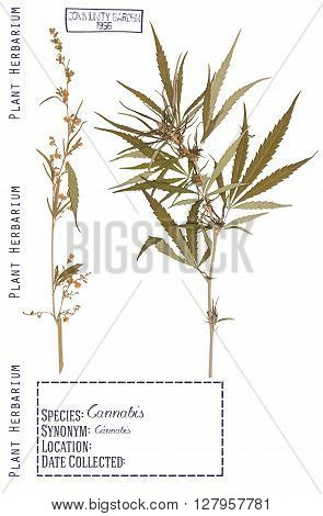 Herbarium of pressed parts of the male and female cannabis plants. Stem leaves flower isolated on white