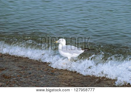 Beautiful gull runs on the waves along Lake Michigan Indiana Dunes USA