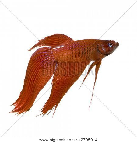 Male Siamese fighting fish in front of a white background