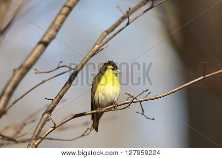 Eurasian Siskin (Spinus spinus) on a twig.