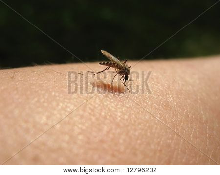 Bloodsucking mosquitoes (Culicidae) on a victim