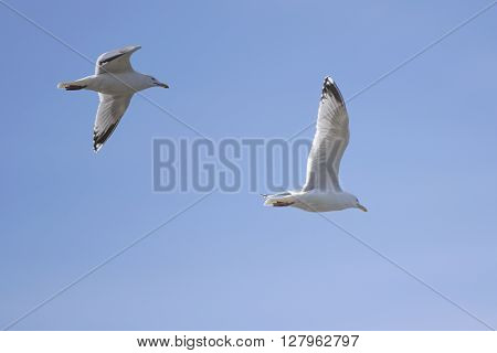Two herring gulls flying high in a blue sky