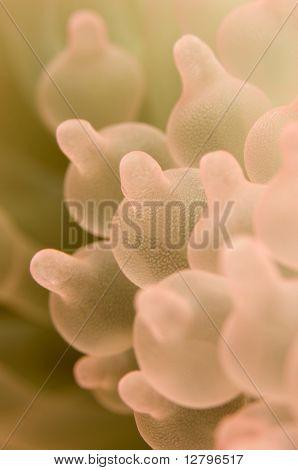Entacmaea quadricolor in aquarium