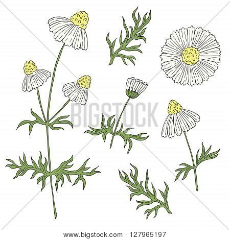 Camomile with stem and leaves hand drawing on a white background. Daisy flowers.