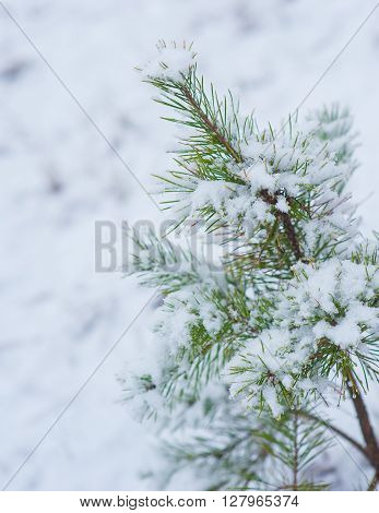 sprigs of spruce in the snow  holyday concept