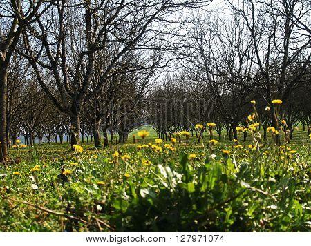 Walnut grove Spring view of a walnut grove