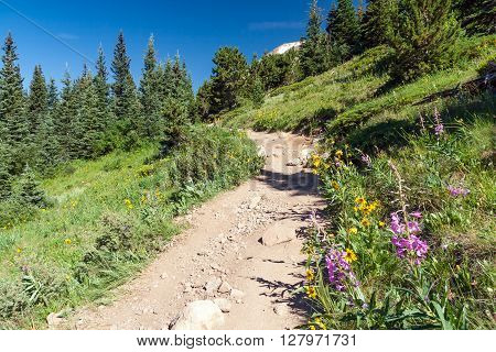 Hiking trail climbs through a field of wildflowers in the Colorado Rocky Mountains