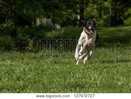 Closeup portrait of English Pointer dog Selective focus