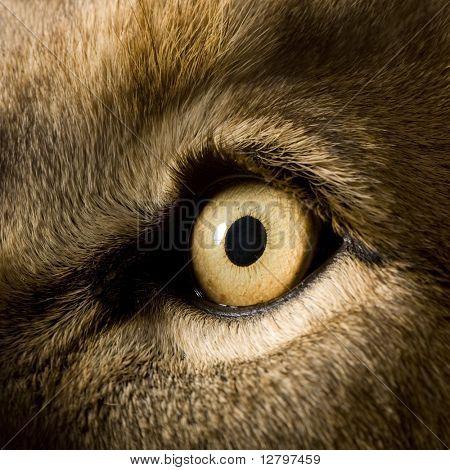 León (4 y medio años) - Panthera leo delante de un fondo blanco