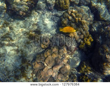 Yellow fish in coral reef, yellow wrasse in corals, coral fish and coral reef in Bali sea, Amed coral reef, underwater sea life in Bali, summer vacation snorkeling, orange reef fish wrasse, Indonesia